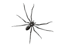 spider-thumb